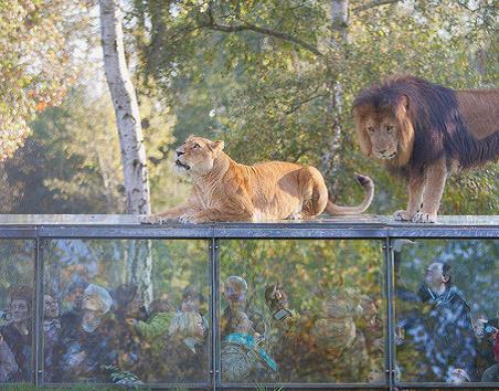 Lions de Thoiry