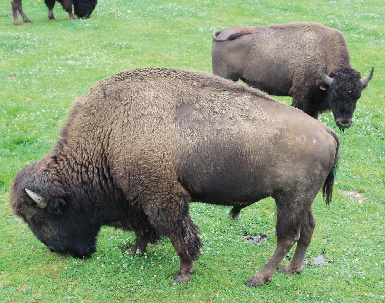 bisons et loups